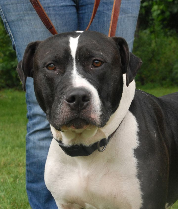 Pumpaa, an adopted Pit Bull Terrier Mix in Medina, OH