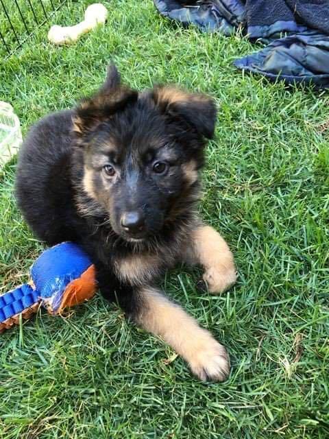 male GSD puppy 1 (pre-adopted) 3