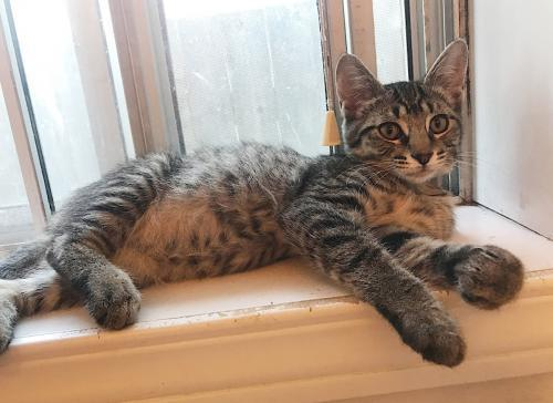 DK, an adopted Tabby & Domestic Short Hair Mix in Springfield, OR