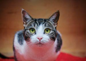 Izzy Tabby Cat