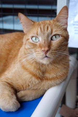 Dakota Tabby Cat