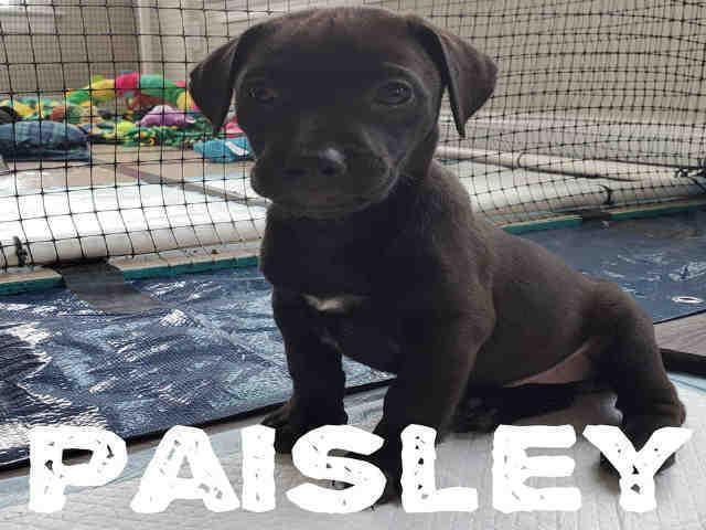 Dog for adoption - PAISLEY, a Labrador Retriever Mix in