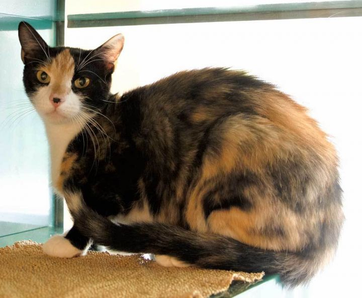 Penny, an adopted Domestic Short Hair & Calico Mix in Port Townsend, WA