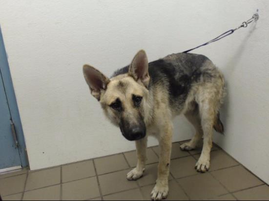Dog for adoption - MAX, a German Shepherd Dog in Albuquerque