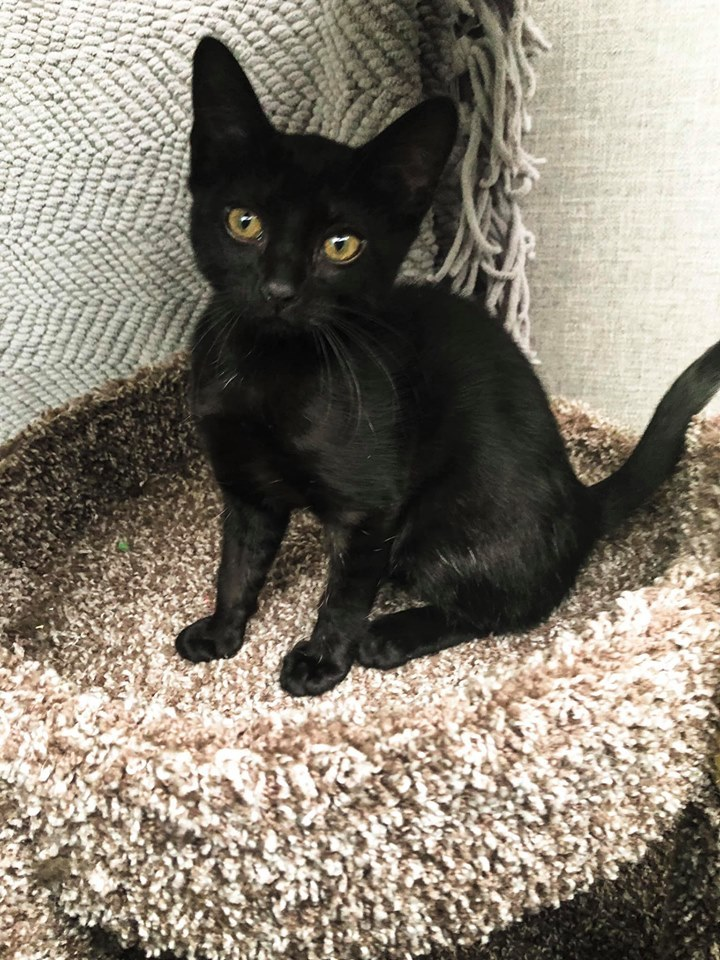 Shadow, an adoptable Domestic Short Hair in Manhattan, KS