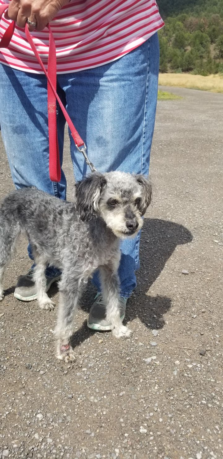 Ishy, an adopted Miniature Schnauzer & Miniature Poodle Mix in Ridgway, CO