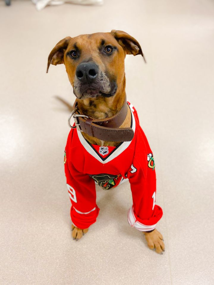 Truck, an adoptable Rhodesian Ridgeback & Great Dane Mix in Chicago, IL