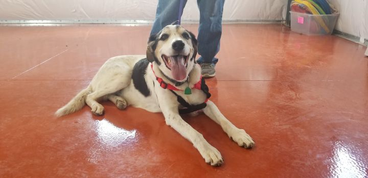 Jake, an adoptable American Foxhound Mix in Ridgway, CO