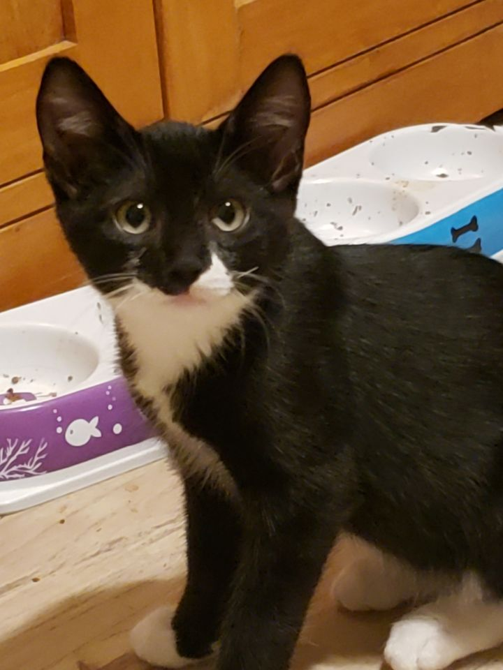 Ben & Jerry +3, an adoptable Tuxedo & Tabby Mix in Vallejo, CA