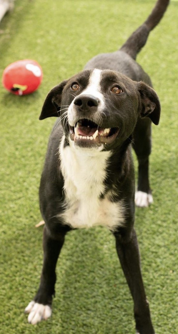 Lindy Lou, an adopted Labrador Retriever & Border Collie Mix in Dallas, TX