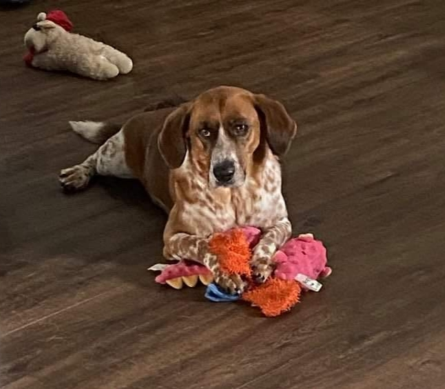 Buddy Boy, an adoptable Basset Hound Mix in Knoxville, TN