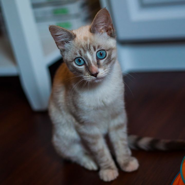Layla, an adopted Siamese Mix in Ponte Vedra, FL