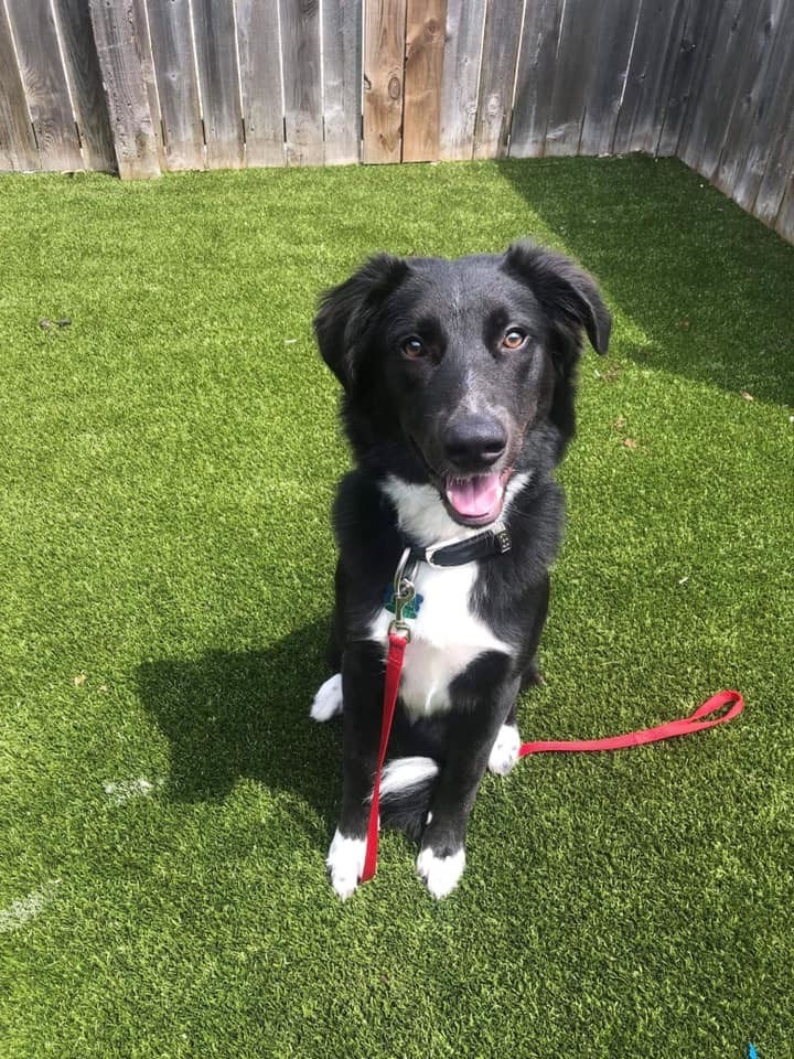 Diesel, an adoptable Collie Mix in Springfield, MO