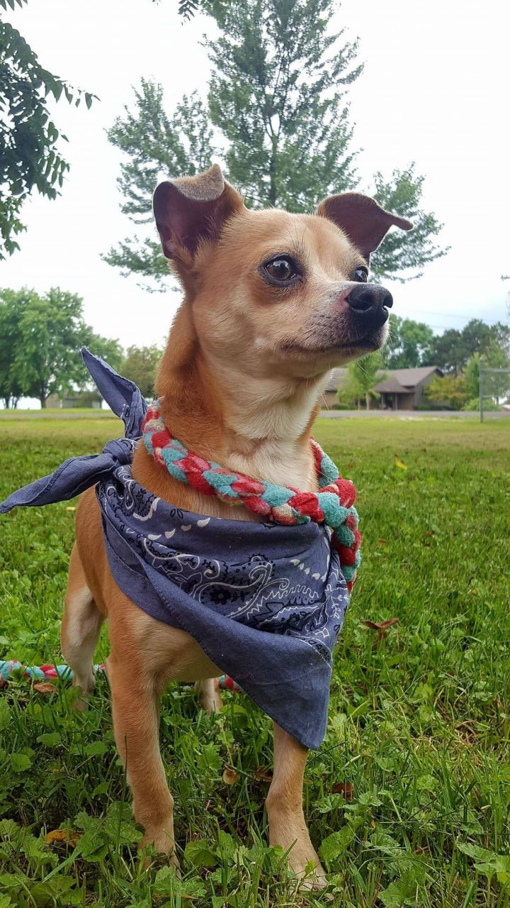 Gordito Crunch, an adopted Chihuahua Mix in Springfield, MO