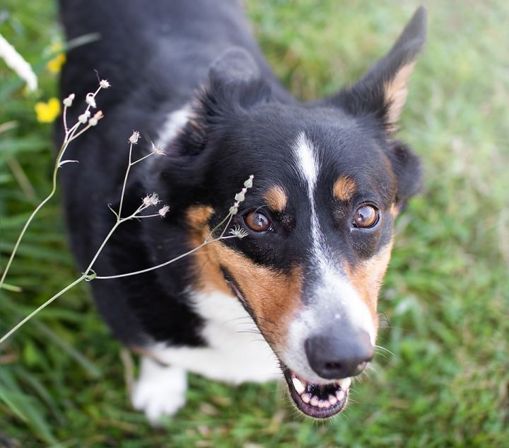 Kendrick, an adopted Corgi & Australian Cattle Dog / Blue Heeler Mix in Puyallup, WA_image-2