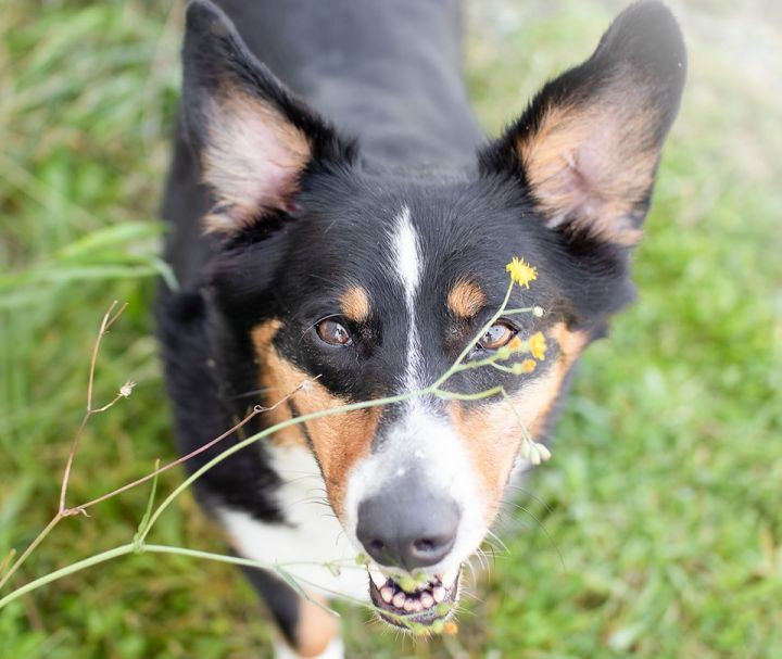 Kendrick, an adopted Corgi & Australian Cattle Dog / Blue Heeler Mix in Puyallup, WA