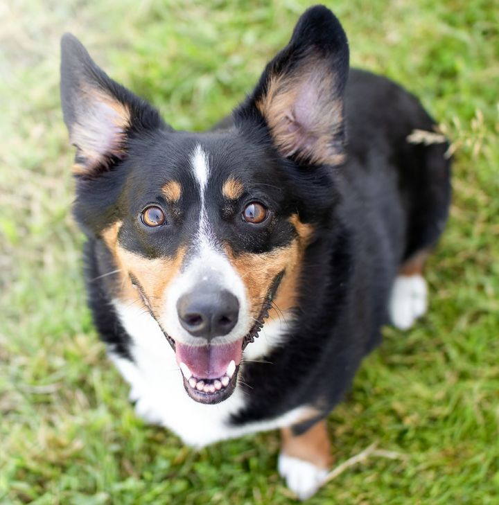 Kendrick, an adopted Corgi & Australian Cattle Dog / Blue Heeler Mix in Puyallup, WA_image-1