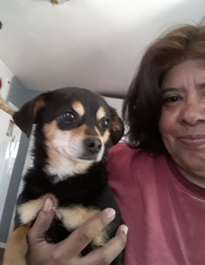 Dog for adoption - Helen, a Chihuahua & Rottweiler Mix in