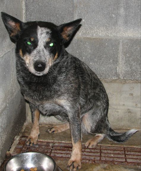 #174 Charlotte, an adopted Australian Cattle Dog / Blue Heeler in Lawrenceburg, KY