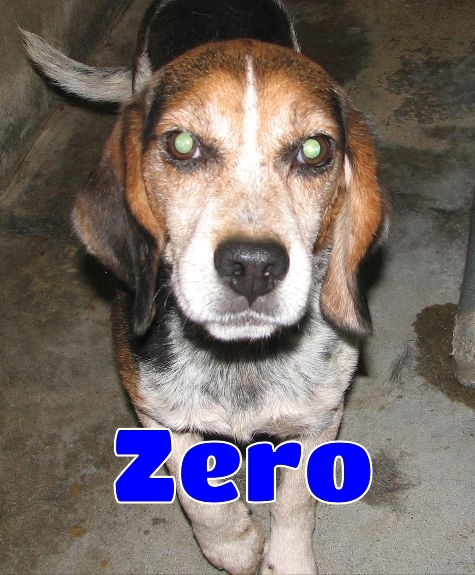 #175 Zero -sponsored, an adopted Beagle in Lawrenceburg, KY