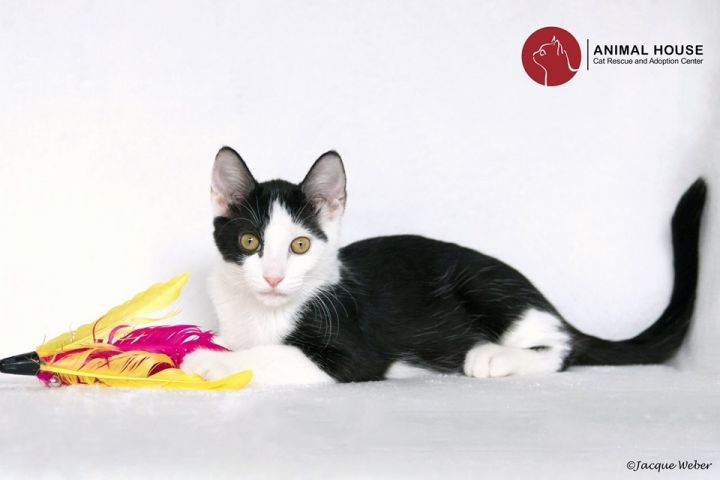 Hershey, an adoptable Domestic Short Hair in St. Louis, MO
