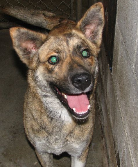 #179 Gemma -sponsored, an adopted Australian Shepherd & Finnish Spitz Mix in Lawrenceburg, KY