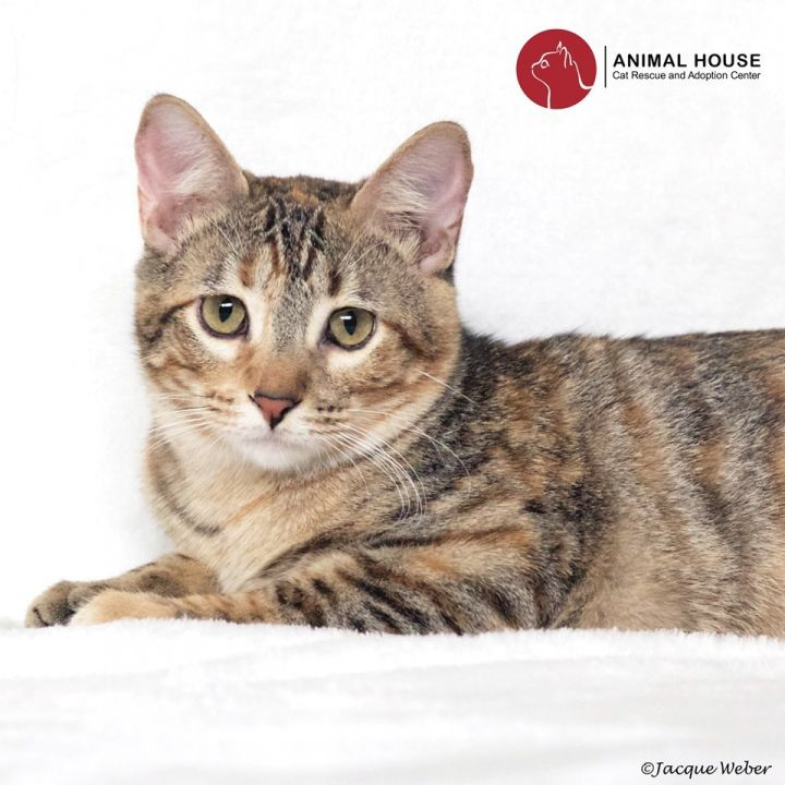 Arya, an adoptable Domestic Short Hair in St. Louis, MO