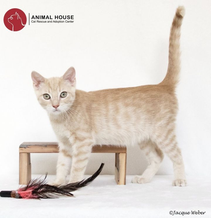 Louis, an adoptable Domestic Short Hair in St. Louis, MO
