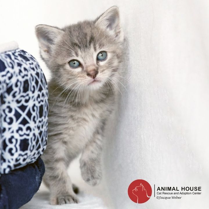Jean, an adoptable Domestic Short Hair in St. Louis, MO