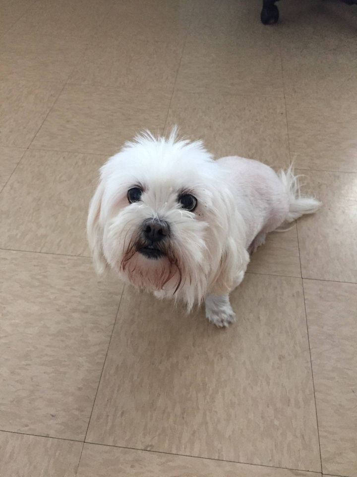 Snow, an adopted Lhasa Apso Mix in Chambersburg, PA