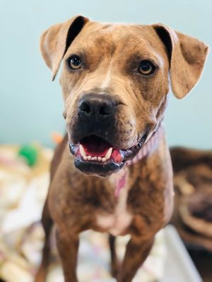 Dog for adoption - Audrey, a Pit Bull Terrier & Boxer Mix in