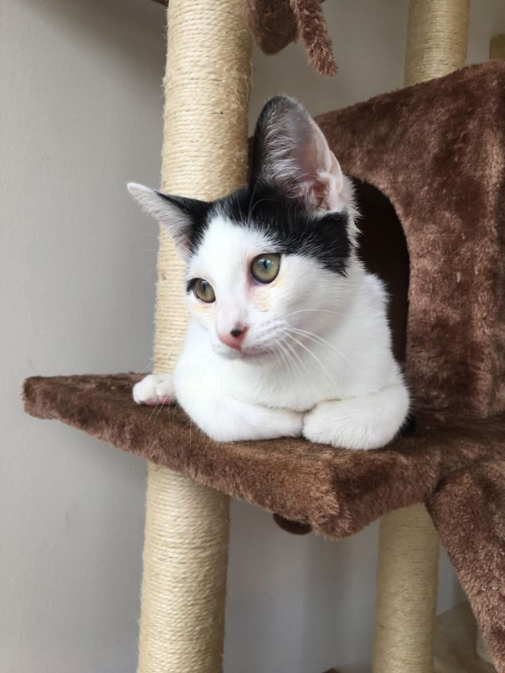 Roo (adopted), an adopted Domestic Short Hair Mix in San Francisco, CA