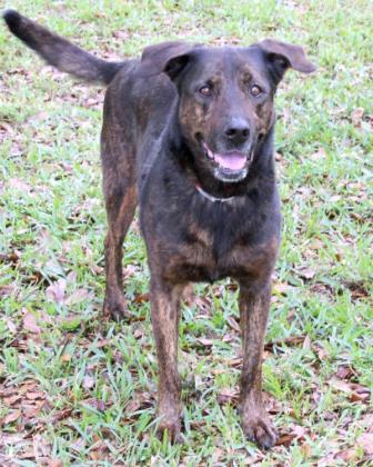 Pachy, an adoptable German Shepherd Dog Mix in Loxahatchee, FL