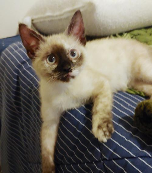 Miss Sasha, an adopted Siamese & Domestic Short Hair Mix in Springfield, OR