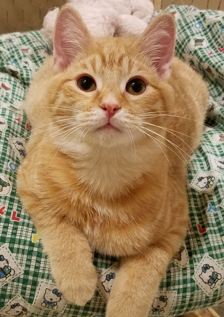 Aquarius, an adopted Domestic Short Hair in Marshfield, WI