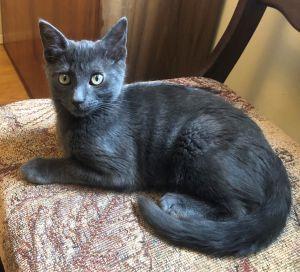 male grey kitten