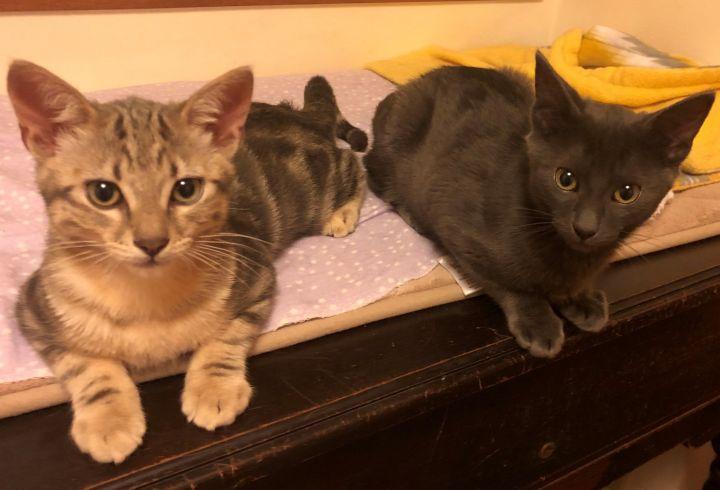 male grey kitten 2