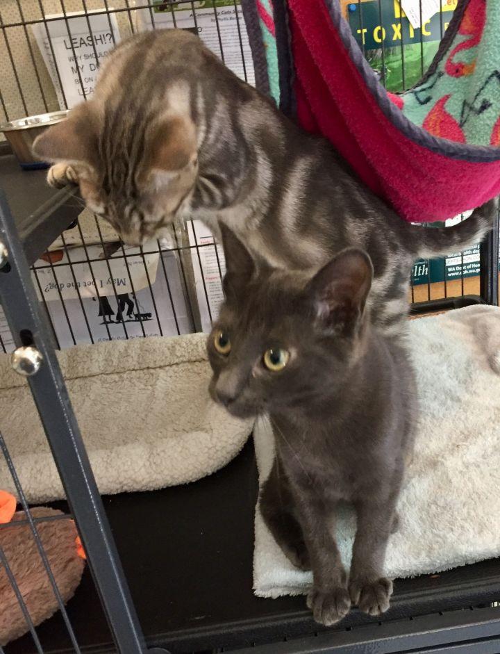 male grey kitten 3