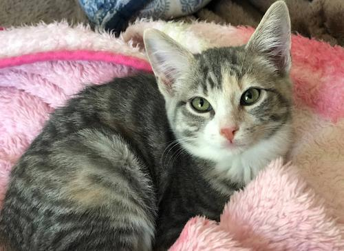 Magnolia, an adoptable Dilute Tortoiseshell & Tabby Mix in Springfield, OR