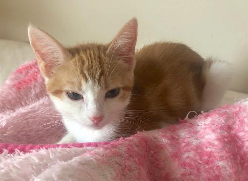 Cullen, an adoptable Tabby & Domestic Short Hair Mix in Springfield, OR