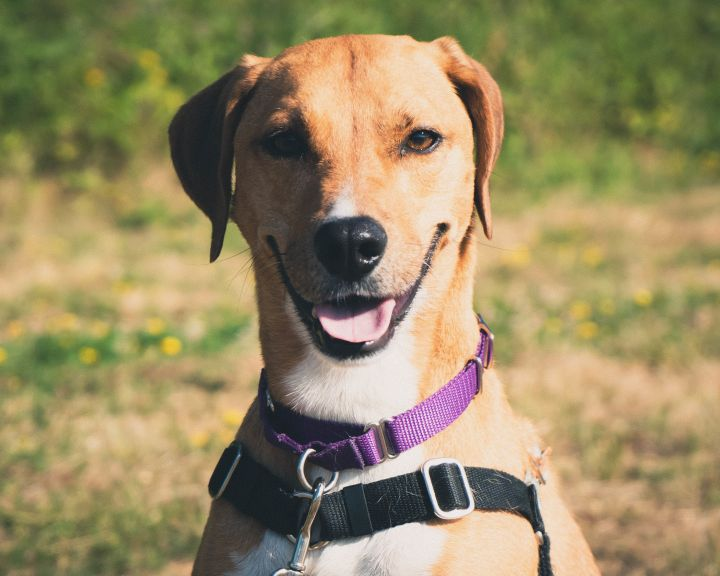 Roxy, an adopted Labrador Retriever in Bellingham, WA