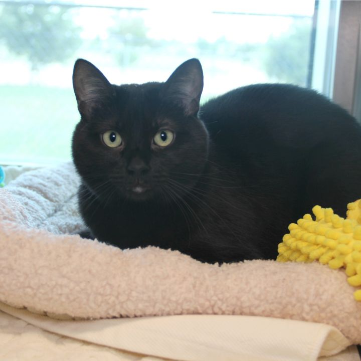 Cindy, an adopted Domestic Short Hair Mix in Clovis, CA