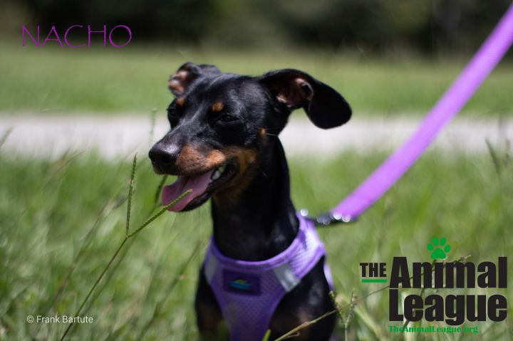 Nacho, an adopted Miniature Dachshund Mix in Clermont, FL