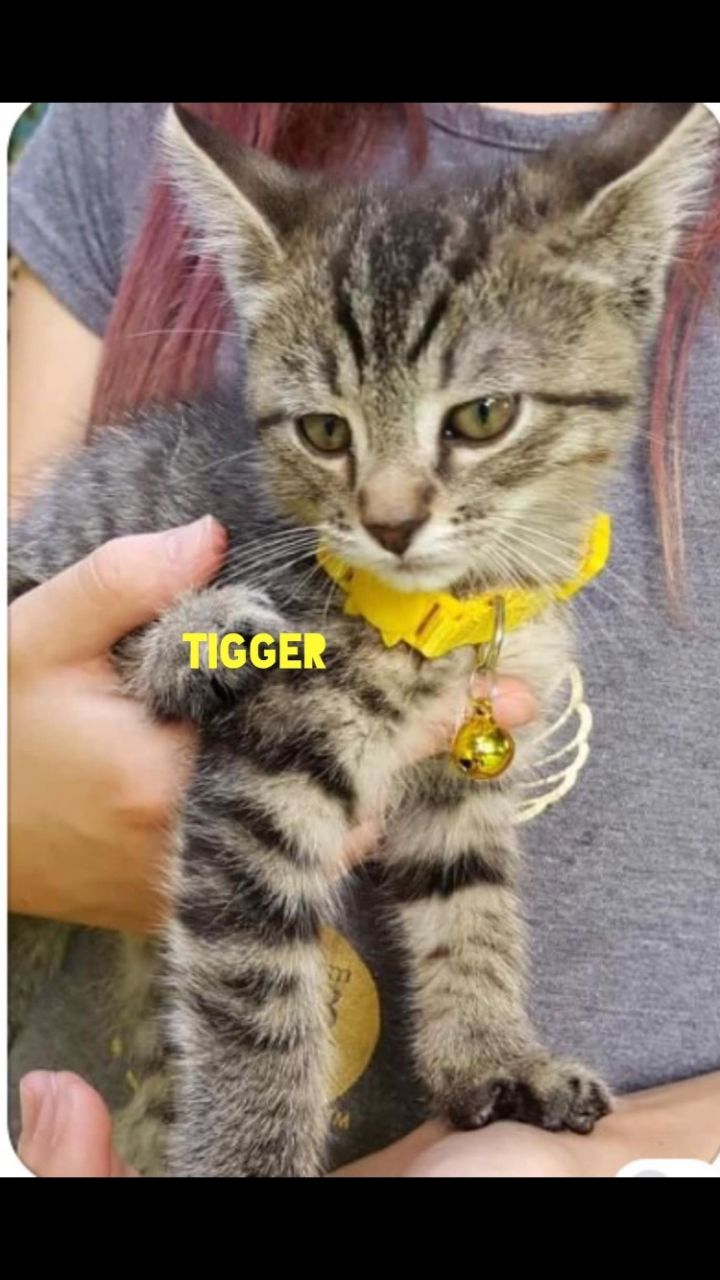 Tigger, an adopted Domestic Short Hair in Omaha, NE