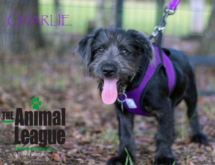 Charlie, an adopted Wirehaired Terrier Mix in Clermont, FL