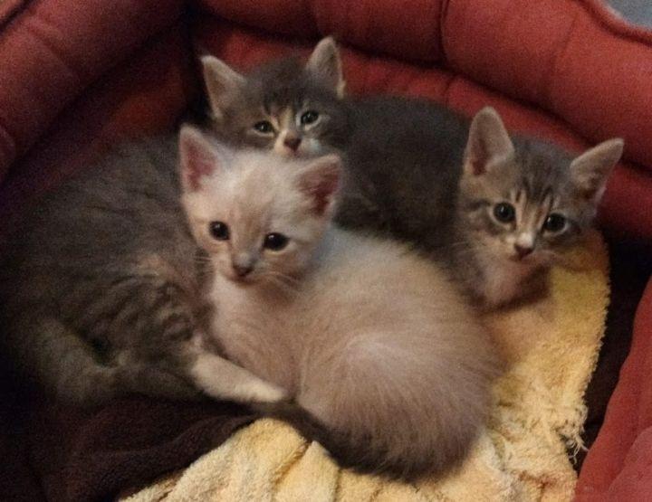 Rose Glen North Dakota ⁓ Try These Siamese Kittens For Sale