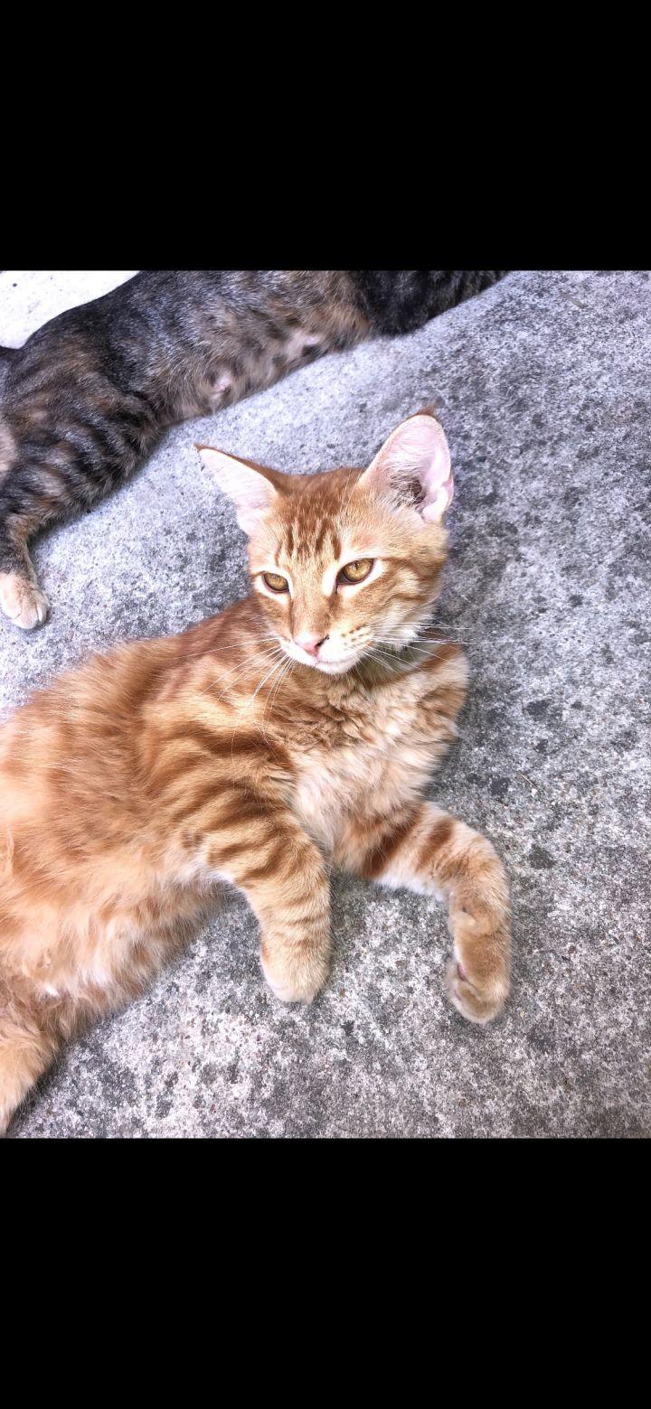 Orange kittens 1 & 2 1