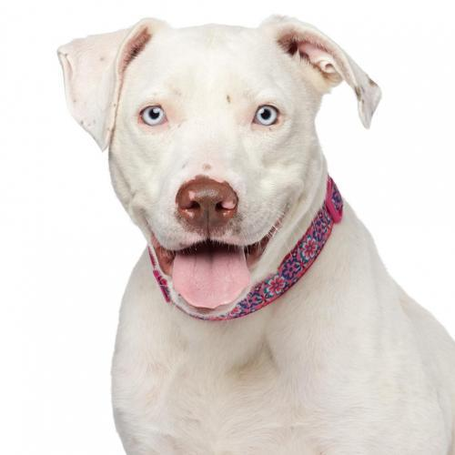 Delilah, an adoptable Pit Bull Terrier in Los Angeles, CA