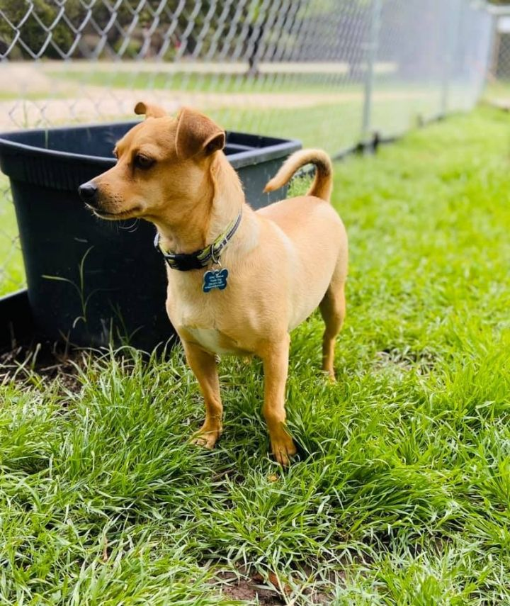 Hughie, an adoptable Chihuahua Mix in Temple, TX