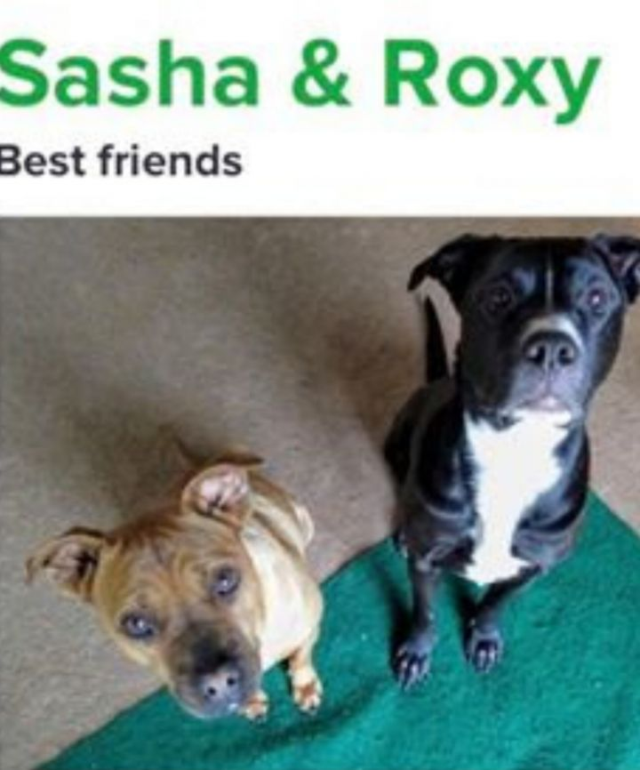 Sasha & Roxy, an adoptable Pit Bull Terrier & Shar-Pei Mix in Eagle, ID